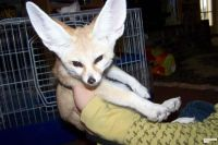 Toy Fox Terrier Puppies for sale in Oklahoma City, OK, USA. price: NA