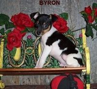 Toy Fox Terrier Puppies for sale in Chicago, IL, USA. price: NA