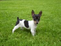 Toy Fox Terrier Puppies for sale in Chattanooga, TN, USA. price: NA