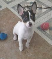 Toy Fox Terrier Puppies for sale in Houston, TX, USA. price: NA