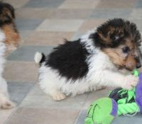 Toy Fox Terrier Puppies for sale in Reno, NV, USA. price: NA