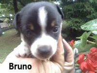 Toy Fox Terrier Puppies for sale in Canton, OH, USA. price: NA
