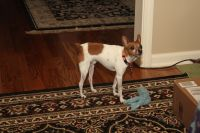 Toy Fox Terrier Puppies for sale in Jefferson, GA, USA. price: NA
