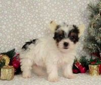 Toy Fox Terrier Puppies for sale in Maryland Parkway, Las Vegas, NV, USA. price: NA