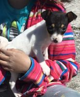 Toy Fox Terrier Puppies for sale in Brazil, IN 47834, USA. price: NA