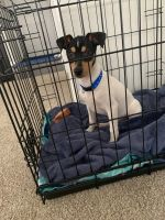 Toy Fox Terrier Puppies for sale in Colorado Springs, CO, USA. price: NA