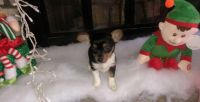 Toy Fox Terrier Puppies for sale in Albany, NY, USA. price: NA