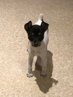Toy Fox Terrier Puppies for sale in Waterville, MN 56096, USA. price: NA