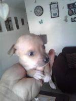 Toy Fox Terrier Puppies Photos