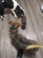Toy Fox Terrier Puppies for sale in Forest Park, GA, USA. price: NA