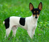 toy fox terrier dog