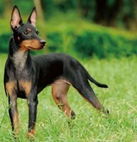 toy manchester terrier dog