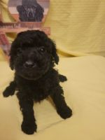 Toy Poodle Puppies for sale in New Concord, OH 43762, USA. price: NA