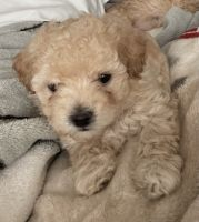 Toy Poodle Puppies for sale in Sioux Falls, SD, USA. price: NA