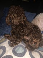 Toy Poodle Puppies for sale in Waynesburg, PA 15370, USA. price: NA