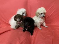 Toy Poodle Puppies for sale in Arlington, TX, USA. price: NA