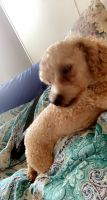 Toy Poodle Puppies for sale in Aiken, SC, USA. price: NA