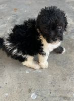 Toy Poodle Puppies for sale in Austin, TX 78748, USA. price: NA