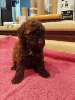 Toy Poodle Puppies for sale in Humboldt, TN 38343, USA. price: NA