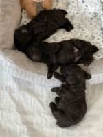 Toy Poodle Puppies for sale in Winter Haven, FL, USA. price: NA