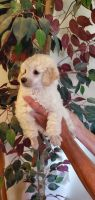 Toy Poodle Puppies for sale in Lynn, MI 48097, USA. price: NA