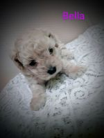 Toy Poodle Puppies for sale in Knoxville, TN 37914, USA. price: NA