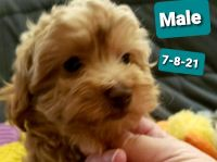 Toy Poodle Puppies for sale in Taylor, MI 48180, USA. price: NA