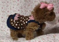 Toy Poodle Puppies for sale in Denver, CO, USA. price: NA