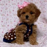 Toy Poodle Puppies for sale in New Haven, CT, USA. price: NA