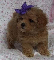 Toy Poodle Puppies for sale in Dover, DE, USA. price: NA