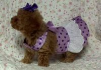 Toy Poodle Puppies for sale in Miami, FL, USA. price: NA