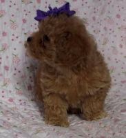Toy Poodle Puppies for sale in Savannah, GA, USA. price: NA
