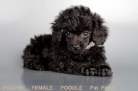 Toy Poodle Puppies for sale in San Diego, CA, USA. price: NA