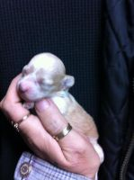 Toy Poodle Puppies for sale in St. Louis, MO, USA. price: NA