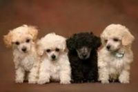 Toy Poodle Puppies for sale in Glendale, AZ, USA. price: NA