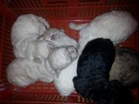 Toy Poodle Puppies for sale in San Bernardino, CA, USA. price: NA