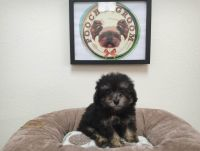 Toy Poodle Puppies for sale in California, USA. price: NA