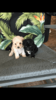 Toy Poodle Puppies for sale in Hattiesburg, MS, USA. price: NA