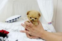 Toy Poodle Puppies for sale in Phoenix, AZ, USA. price: NA