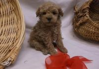 Toy Poodle Puppies for sale in Houston, TX, USA. price: NA
