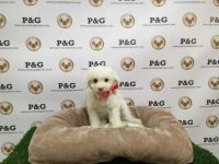 Toy Poodle Puppies for sale in Los Angeles, CA, USA. price: NA
