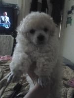 Toy Poodle Puppies for sale in Marion, VA 24354, USA. price: NA