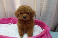 Toy Poodle Puppies for sale in Washington, DC, USA. price: NA