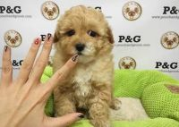 Toy Poodle Puppies for sale in Omaha, NE, USA. price: NA