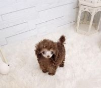 Toy Poodle Puppies for sale in Fresno, CA, USA. price: NA