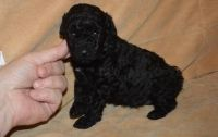Toy Poodle Puppies for sale in Ashburn, VA, USA. price: NA