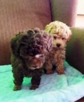 Toy Poodle Puppies for sale in Portland, IN 47371, USA. price: NA