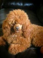 Toy Poodle Puppies for sale in Chicago, IL, USA. price: NA