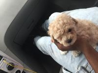 Toy Poodle Puppies for sale in Greenville, NC, USA. price: NA