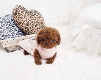 Toy Poodle Puppies for sale in Louisville, KY, USA. price: NA